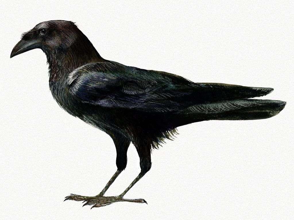Somali Raven