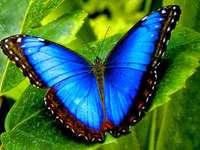 Ritka kék pillangó