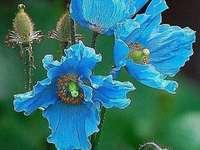 niebieski mak